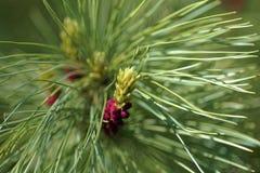 开花的雪松特写镜头  选择聚焦和浅景深 免版税库存照片