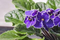 开花的非洲堇,一般叫作非洲紫罗兰 微型盆的植物 库存图片