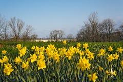 黄水仙开花的领域 免版税库存图片