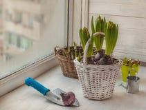 开花的风信花在窗口的冬天 库存照片
