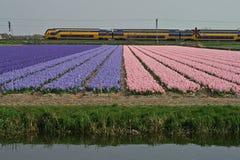 开花的风信花的领域与一列火车的在背景 库存照片