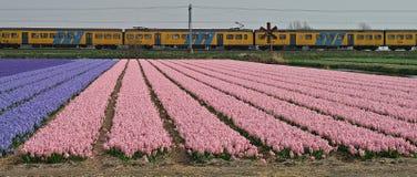 开花的风信花的领域与一列火车的在背景 免版税图库摄影