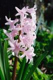 开花的风信花粉红色春天 库存照片