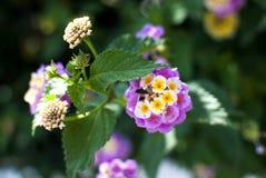 开花的马樱丹属在庭院里 免版税库存图片