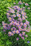 开花的高山翠菊翠菊alpinus 库存照片