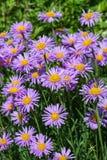 开花的高山翠菊翠菊alpinus 图库摄影