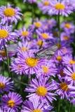 开花的高山翠菊翠菊alpinus 库存图片