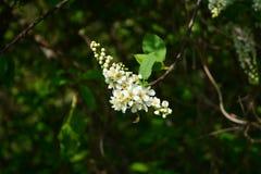 开花的鸟樱桃 库存照片