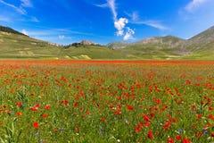 开花的鸦片和扁豆在重创的钢琴, Castelluccio, Ital 免版税库存图片