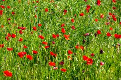 开花的鸦片的领域 免版税库存照片
