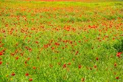 开花的鸦片的领域 库存照片