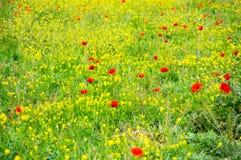 开花的鸦片的领域 库存图片