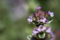 开花的麝香草在庭院里 免版税库存照片