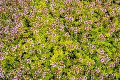 开花的麝香草地毯 免版税库存照片