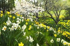 开花的黄水仙停放弹簧 免版税库存图片