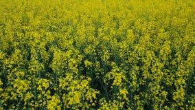 开花的黄色油菜籽调遣与蓝色无云的天空 影视素材