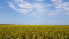 开花的黄色油菜籽调遣与蓝色无云的天空 股票录像