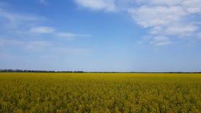 开花的黄色油菜籽调遣与蓝色无云的天空 股票视频