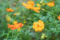 开花的黄色波斯菊花在庭院里,泰国的领域 库存图片