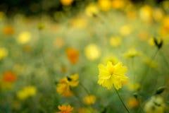 开花的黄色波斯菊花的领域在庭院里 库存图片