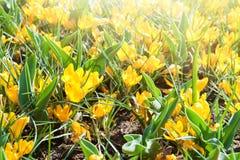 开花的黄色番红花在春天 库存照片