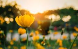 开花的黄色花的领域在背景日落的 图库摄影
