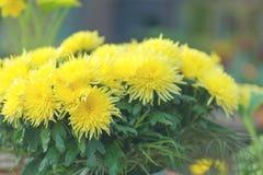 开花的黄色菊花花在庭院里 春天concep 免版税库存图片