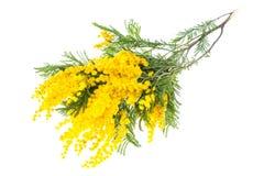 开花的黄色金合欢dealbata分支,隔绝在白色背景 免版税库存图片