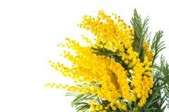 开花的黄色金合欢dealbata分支,隔绝在白色背景 免版税图库摄影