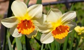 开花的黄色黄水仙花,水仙开花水仙pseudonarcissus,也知道作为野生黄水仙或被借的百合  库存照片