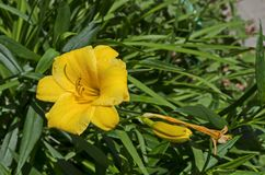 开花的黄色黄花菜花或Hemerocallis史特拉de Oro在庭院里 库存照片