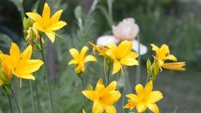 开花的黄色黄花菜 晴朗的天气,选择聚焦