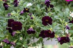 开花的黑喇叭花,Calibrachoa -能装黑樱桃于罐中 免版税图库摄影