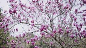 开花的黑暗的桃红色木兰树在一个春日 股票录像