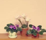 开花的仙人掌和senpolia在罐在架子 库存图片