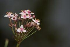 开花的仓促或草仓促或者Butomus umbellatus 库存照片