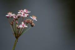 开花的仓促或草仓促或者Butomus umbellatus 免版税库存图片