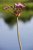 开花的仓促(butomus)和舒展蜘蛛(tetragnatha)。 库存照片