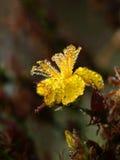 开花的贯叶连翘 图库摄影