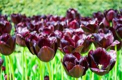 开花的黑暗的紫罗兰色伯根地郁金香在草坪, Keukenhof公园 库存照片