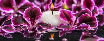 开花的黑暗的紫色大竺葵花美好的温泉背景  免版税库存图片