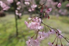 开花的洋李在冈山后乐园庭院里 库存图片