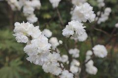 开花的洋李在冈山后乐园庭院里 免版税图库摄影