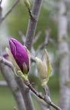 开花的结构树 一朵明亮的桃红色木兰花的按钮在一个分支的反对天空背景 免版税库存图片