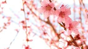 开花的结构树 股票视频