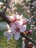 开花的结构树 库存图片