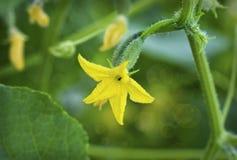 开花的黄瓜 库存图片