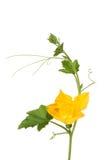 开花的绿皮胡瓜 免版税库存图片
