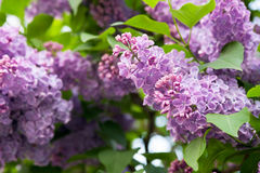 开花的紫罗兰色丁香 库存图片