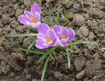 开花的紫罗兰色番红花在庭院里 库存图片